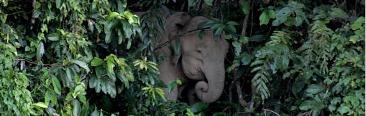 Borneon Pygmy Elephants migrate the Lower Kinabatangan and through the forests surounding Batu Puteh 2-3 times per year
