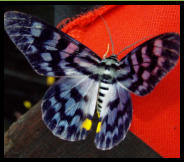 It tickled when it landed on me... but oooh! what a beauty! It was quite a treat to see this 9cm butterfly