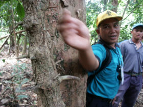 "Yahya Jafar head of the Forest Restoration program explains the use of the incense wood of the ""Laka"" vine"